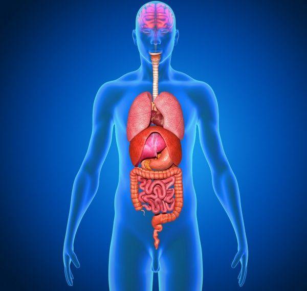 Расположение внутренних органов у человека в картинках